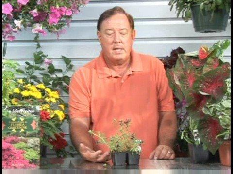 Growing Flowering Plants : Growing Portulaca Plants