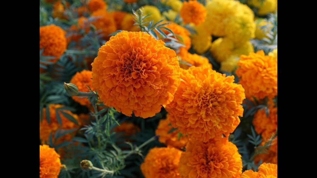Awesome And Pretty Orange Yellow And Vanilla Marigold Flowers Youtube