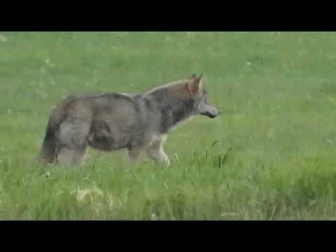 Wilk Skradający Się Do Saren