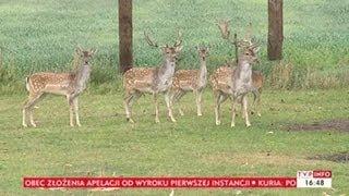 Uważajmy na dzikie zwierzęta na drogach!  (Puls Polski, TVP Info, 01.10.2013)