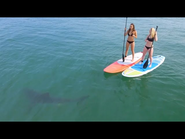 Great White Sharks Give Bikini-Clad Paddleboarders Scare of Their Lives.