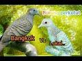 Suara Burung Perkutut Bangkok Vs Lokal Durasi Panjang Masteran(.mp3 .mp4) Mp3 - Mp4 Download