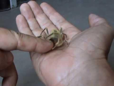 Фаланга кусает - Camel Spider bites!