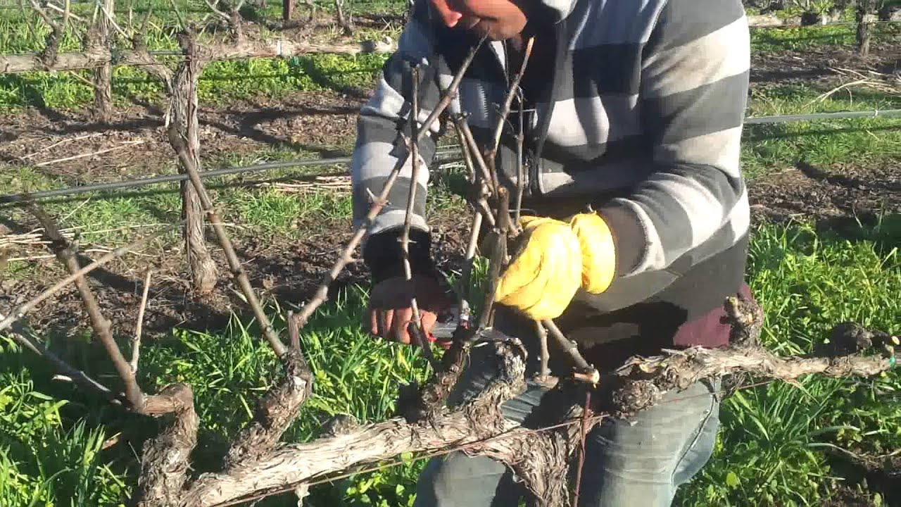 Poda de uva en napa ca youtube - Poda de hortensias en maceta ...