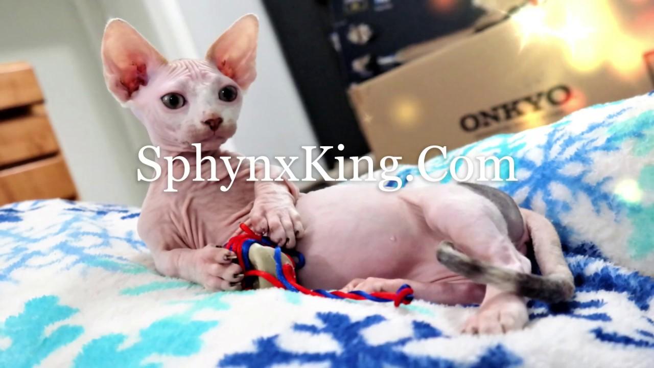 SphynxKing Hairless Sphynx Bambinos & Dwelf Kittens Avail  Nashville,T