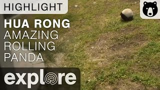 Live Cam Highlight! - Meet Hua Rong, The Amazing Rolling Panda!