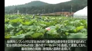 [韓国 京畿道] 始興_始興(シフン)蓮の花テーマーパーク