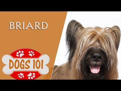 Dogs 101 - BRIARD - Top Dog Facts About the BRIARD