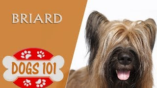 Dogs 101  BRIARD  Top Dog Facts About the BRIARD