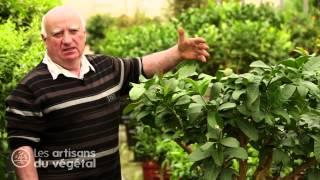 Comment Et Quand Tailler Un Citronnier Oranger Clementinier Ou Mandarinier Youtube