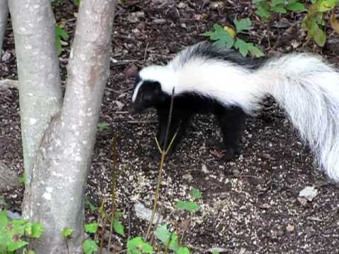 Skunk In Backyard striped skunk digging in backyard - youtube