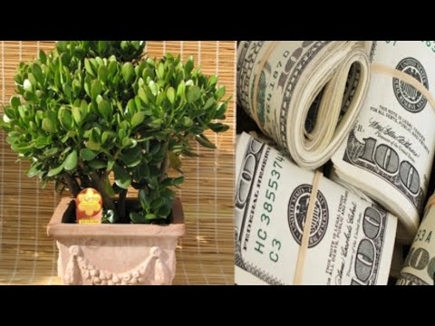 JADE PLANT AT GOLD COINS NAGBIBIGAY NG LIMPAK-LIMPAK NA SALAPI AT TAGUMPAY - Apple Paguio7