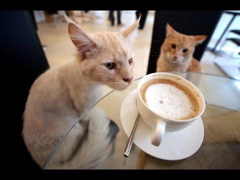 Cat Cafe In Paris   Cafe Des Chats