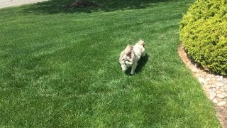 Funny Shih Tzu Dog Lacey | Zoomies And A Twirl