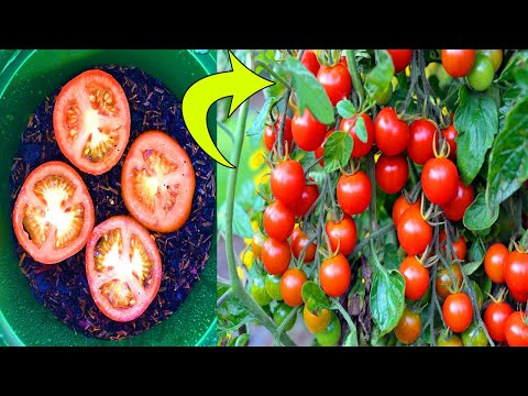 10 Tomato Grow Mistakes To Avoid | 10 Mistakes To Avoid When Growing Tomatoes