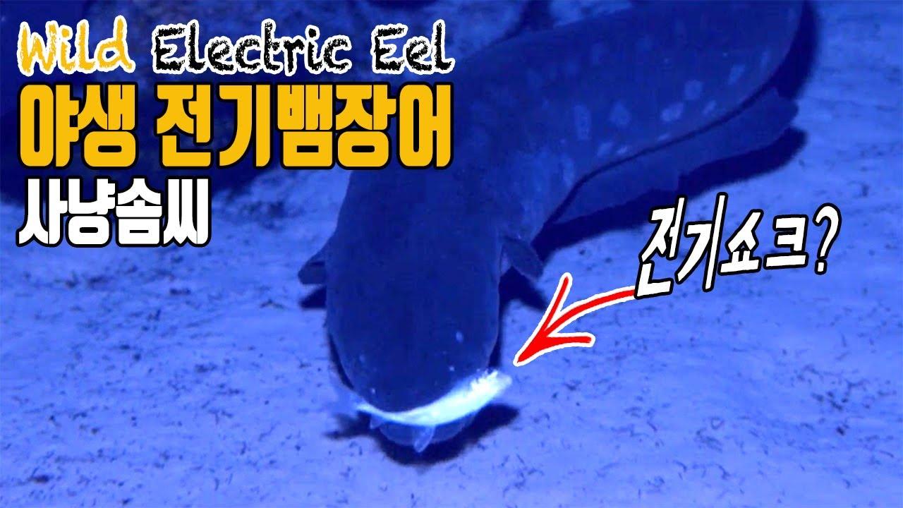 야생 전기뱀장어의 독특한 사냥법! electric eel hunting in wild amazon ...