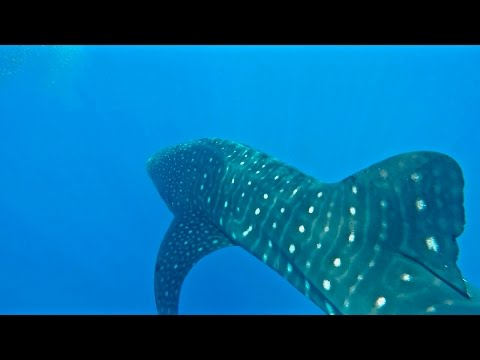 Girl Swims With Rare WHALE SHARK Off Jupiter Florida!
