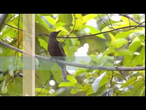 Suara Kicau Kepodang Seram dari Maluku Selatan