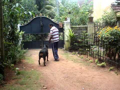 A Trained Rottweiler in Kochi