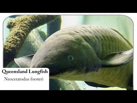 [HD] Queensland Lungfish / Australischer Lungenfisch - Neoceratodus forsteri