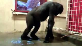 Танцующая обезьяна.mp4