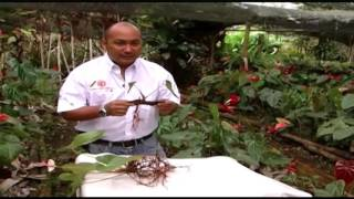 How to cultivate anthuriums- TvAgro por Juan Gonzalo Angel
