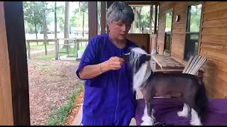 Facebook Live: Kaylen's Kennel, Kay Peiser on breeding, presenting and judging the Chinese Crested.