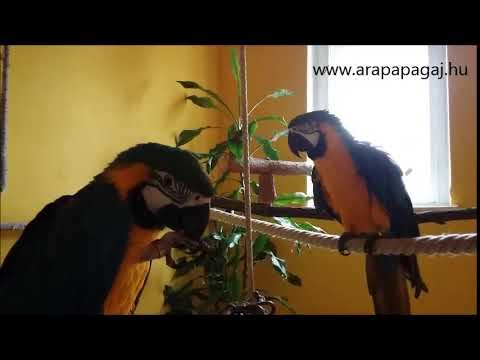 Papagájok evés közben