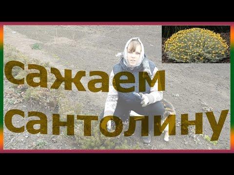 как посадить сантолину дома сантолина выращивание размножение огород сад розарий цветник