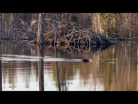 Beaver At Keyanacon, Northern New Brunswick, Canada