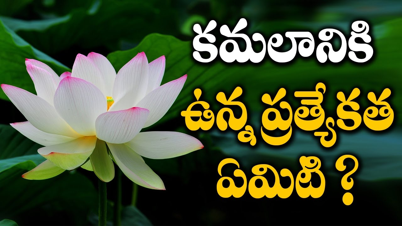 What is special about lotus flower kamalaniki vunna pratyekata what is special about lotus flower kamalaniki vunna pratyekata emiti izmirmasajfo