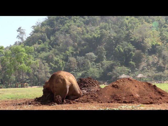 Elephant Kabu taking a nap on her mud pit
