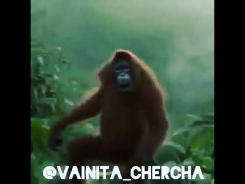 Mono baila, este que esta aquí