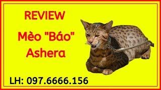 Giống Mèo Hoàng Gia Ashera Giá Bao Nhiêu Rẻ, Mua Ở Đâu Thuần Chủng Uy Tín Tại Tphcm Và Hà Nội