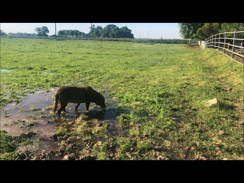 Flood Irrigating Pasture in Northern California!