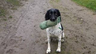 Gundog Training English Springer Spaniel Stop Whistle