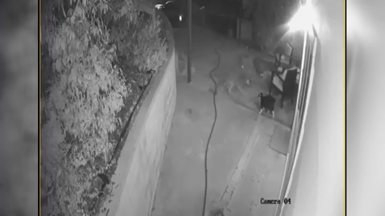 Video shows courageous cat fend off 3 coyotes