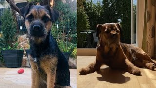 CUTE AND AWESOME BORDER TERRIER MOMENTS