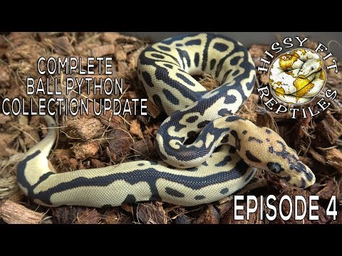 COMPLETE Ball Python Collection Update!!! Reptiles Remixed: Episode 4