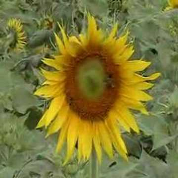 Sun Flowers and Bees - in Love