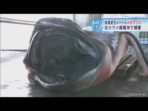 三重県で生きたメガマウス捕獲