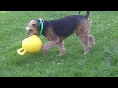 Jorjie Airedale Terrier loving the jolly ball. (Watch her front legs!)