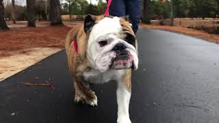 Reuben the Bulldog Gets His (Funky) Walk