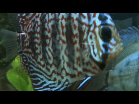 Tropical Fish In The North East - Blue Turquoise Discus After Feeding