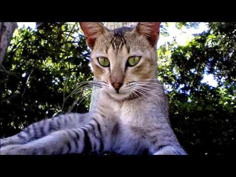 Порода кошек. Цейлонская кошка,Характеристика и стандарты кошки