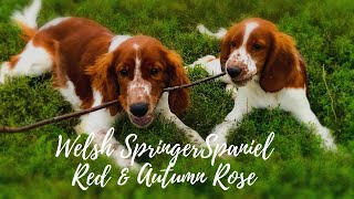 Outside with Welsh Springer Spaniel  Red and Autumn Rose