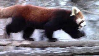 走り回るレッサーパンダの子供「まめたろう 」(多摩動物公園)Red Panda Child Run thumbnail