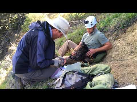 Banding of Lopez Canyon Bald Eagles