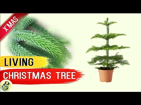 LIVING CHRISTMAS TREE – Norfolk Island Pine Tree – Living Xmas Tree Care Tips after Holidays