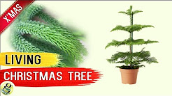 LIVING CHRISTMAS TREE - Norfolk Island Pine Tree - Living Xmas Tree Care Tips after Holidays